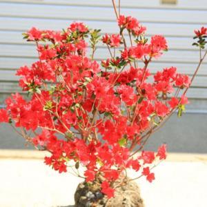 庭木・植木:本霧島ツツジ(ほんきりしまつつじ)鉢植え、庭植えにもちょうど良いサイズ!|y-bonsai