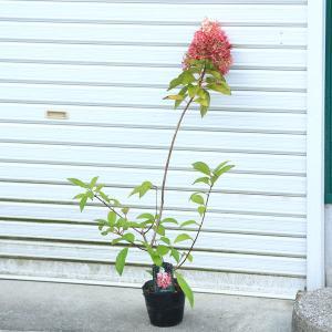 庭木/・植木:ノリウツギ(ピンキーウィンキー) アジサイに負けない6月のお花! y-bonsai