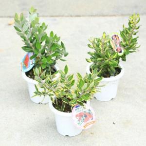 庭木・植木・苗:メトロシデロス(矮性ブラシの木)品種をお選びください!|y-bonsai