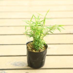苗:姫竹 2個セット チシマザサ y-bonsai