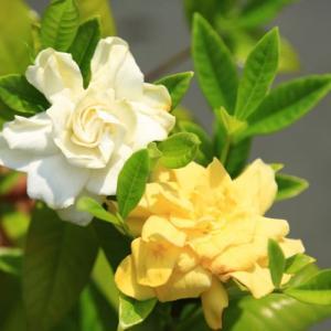庭木苗・苗:くちなし(クチナシ)黄色八重 樹高30cm 白色〜黄色に色変化が楽しめる!|y-bonsai