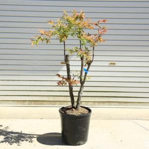 送料無料!庭木:折鶴南天(おりづるなんてん)樹高:90cm* 現品限り! ヤマト便大型商品発送! y-bonsai