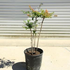 庭木:折鶴南天(おりづるなんてん)樹高:80cm* 現品限り! y-bonsai