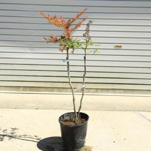 庭木:折鶴南天(おりづるなんてん)樹高:80cm* 現品限り!|y-bonsai