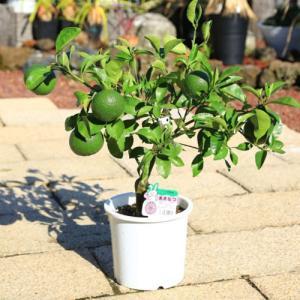 庭木・植木:甘夏柑(あまなつ) 接木3年生 樹高70cm  贈答用にもオススメです。 y-bonsai