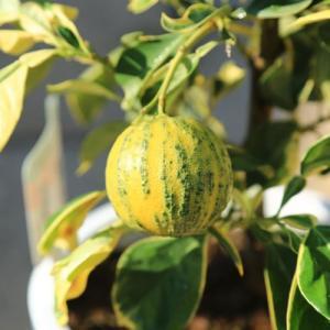 庭木・植木:ちきゅうかん(地球柑)チキュウカン 接木3年生 樹高50cm  贈答用にもオススメです。 y-bonsai