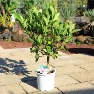 庭木・植木:仏手柑(ぶっしゅかん) 接木3年生 樹高70cm  仏の手に似た実がなる縁起がよい柑橘樹 y-bonsai