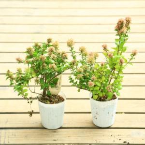 庭木苗 花木:アベリア 聖火 ホワイトスターダスト*2個セット y-bonsai