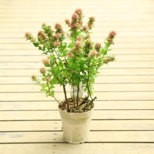 庭木苗 花木:アベリア 聖火 ホワイトスターダスト*5号 y-bonsai