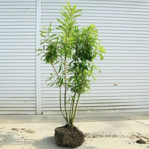 送料無料 庭木:ヒメユズリハ(姫ゆずりは)* 樹高:約140cm 全高:約150cm 現品限りの特選品!佐川大型商品発送|y-bonsai