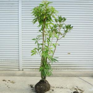 送料無料 庭木:ヒメユズリハ(姫ゆずりは)* 樹高:約160cm 全高:約180cm 現品限りの特選品!佐川大型商品発送|y-bonsai