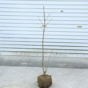 庭木苗・植木:アオダモ  樹高90cm* 鉢植えにも庭植えにもできます。 y-bonsai