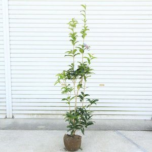庭木・植木:キンモクセイ(フレグランスレッド)  樹高70cm*花色が濃い金木犀 y-bonsai