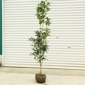 送料無料 庭木・植木:キンモクセイ(金木犀)お得でお手頃サイズ! 樹高120cm 全高140cm*ヤマト便大型商品発送!  y-bonsai