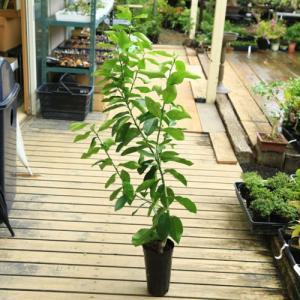 庭木・植木:レモン(れもん) 接木2年 樹高70cm  柑橘樹 y-bonsai