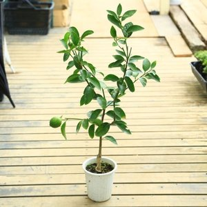 庭木・植木:ライム(フレーバーグリーン)種なしライム* 接木樹高70cm   y-bonsai