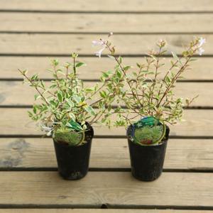 庭木苗 花木:アベリア ホープレイズ* 斑入り 2個セット y-bonsai