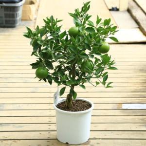 庭木・植木:セミノール(せみのーる)オレンジ 接木3年生 樹高60cm 柑橘ジュースにオススメ品種です! y-bonsai