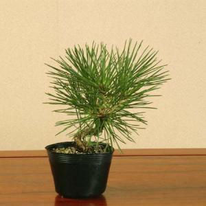 苗:三河黒松(曲)*|y-bonsai