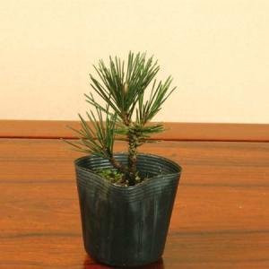 苗:寿松|y-bonsai