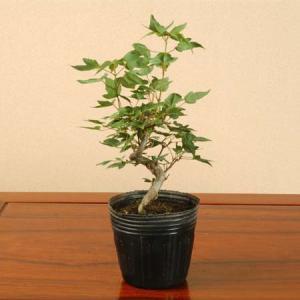 苗:楓(曲)*|y-bonsai