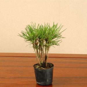 苗:黒松寄せ|y-bonsai