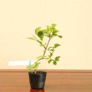 苗:つる梅もどき(オス木)|y-bonsai