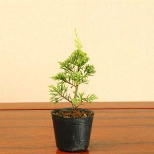 苗:糸魚川真柏 (小)|y-bonsai