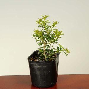 苗:姫ひいらぎ(ヒメヒイラギ)* |y-bonsai