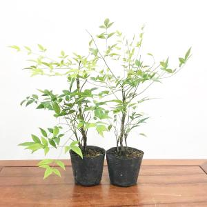 苗:白南天 2ヶ|y-bonsai