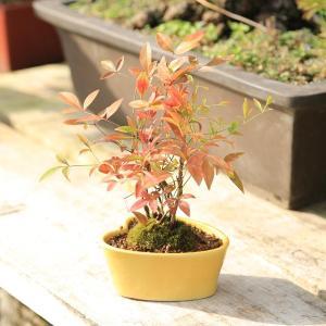 モダン盆栽:南天(ナンテン)*|y-bonsai