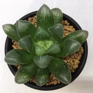 多肉植物:ハオルチア 美窓ピリフェラ *幅5cm y-bonsai