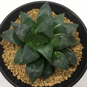 多肉植物:ハオルチア うっすら斑入りコンプト*幅8cm 現品 一品限り