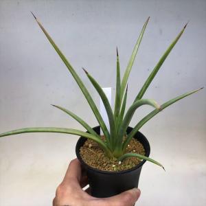 多肉植物:アガベ ストリクタ 幅広吹上*幅12cm ☆赤松実生|y-bonsai
