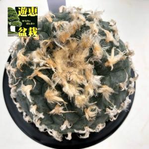 サボテン:ロフォフォラ 烏羽玉(うばたま)*幅9.5cm 現品!一品限り|y-bonsai