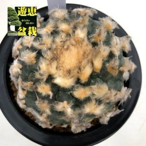 サボテン:ロフォフォラ 烏羽玉(うばたま)*幅8.5cm 現品!一品限り|y-bonsai