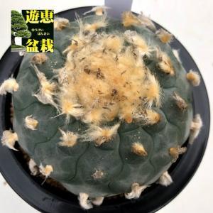 サボテン:ロフォフォラ 烏羽玉(うばたま)*幅9cm 現品!一品限り|y-bonsai