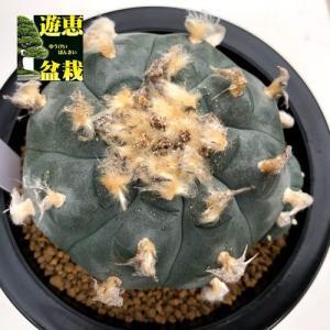 サボテン:ロフォフォラ 烏羽玉(うばたま)*幅8cm 現品!一品限り|y-bonsai