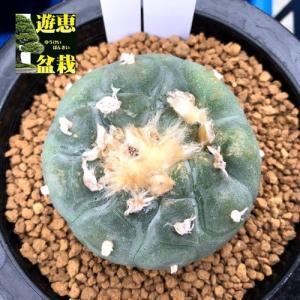 サボテン:ロフォフォラ 烏羽玉(うばたま)*幅6.5cm 現品!一品限り|y-bonsai