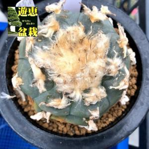 サボテン:ロフォフォラ 烏羽玉(うばたま)*幅5.5cm 現品!一品限り|y-bonsai