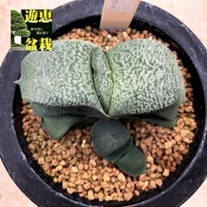 多肉植物:ガステリア スノーホワイト*幅7.5cm 現品!一品限り|y-bonsai