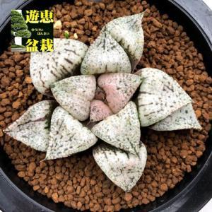 多肉植物:ハオルチア 関西系モザイクピクタ*幅8cm 現品!一品限り|y-bonsai