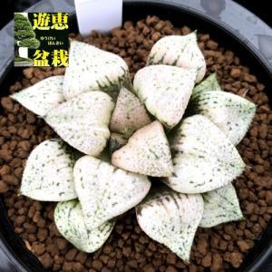 多肉植物:ハオルチア 関西系モザイクピクタ*幅7.5cm 現品!一品限り|y-bonsai