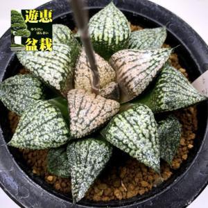 多肉植物:ハオルチア 関西系モザイクピクタ*幅5.5cm 現品!一品限り|y-bonsai