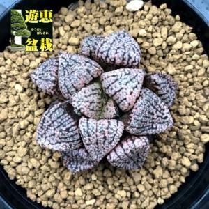 多肉植物:ハオルチア 関西系モザイクピクタ*幅5cm 現品!一品限り|y-bonsai