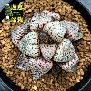 多肉植物:ハオルチア 関西系モザイクピクタ*幅6.5cm 現品!一品限り|y-bonsai