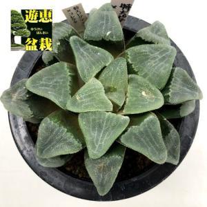 多肉植物:ハオルチア 特大ピグマエア×コレクタ*幅12cm 現品!一品限り|y-bonsai