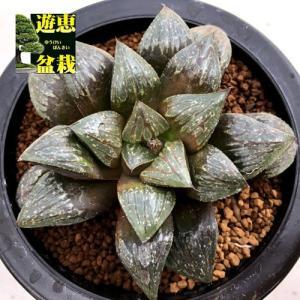 多肉植物:ハオルチア クリスタルムチカ*幅6.5cm 現品!一品限り|y-bonsai
