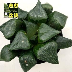 多肉植物:ハオルチア 特大C-1*幅12cm 現品!一品限り|y-bonsai