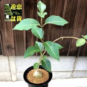 コーデックス:バセオネマ グレゴリー *塊根幅3.5cm|y-bonsai